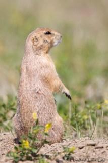 Chien de praire - Prairie Dog