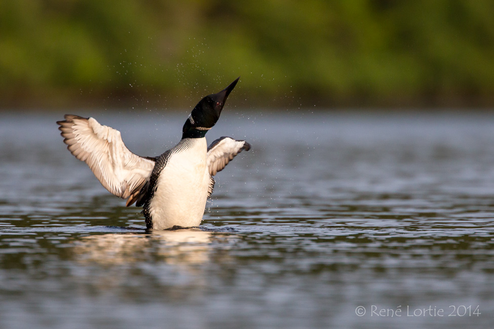 Plongeon huard, Common Loon