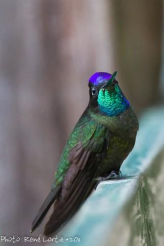 Magnificent Hummingbird, Eugenes fulgens