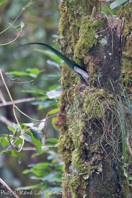 Quetzal replendissant- mâle entrant dans le nid