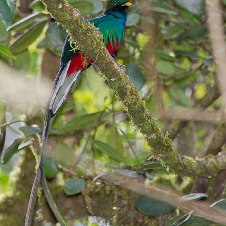 Quetzal replendissant-Femelle