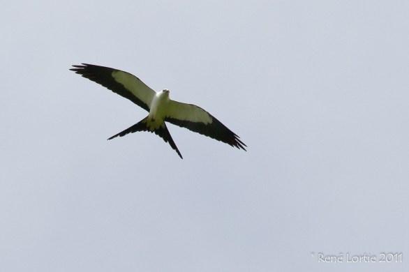 Swallow-tailed Kite - Elanoides forficatus