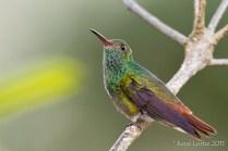 Ariane à ventre gris, Rufous-tailed Hummingbird, Amazilia tzacatl