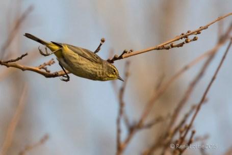Paruline à couronne rousse / Palm Warbler / Setophaga palmarum