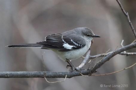 Moqueur polyglotte / Northern / Mockingbird Mimus polyglottos