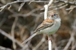 Bruant des champs / Field Sparrow / Spizella pusilla