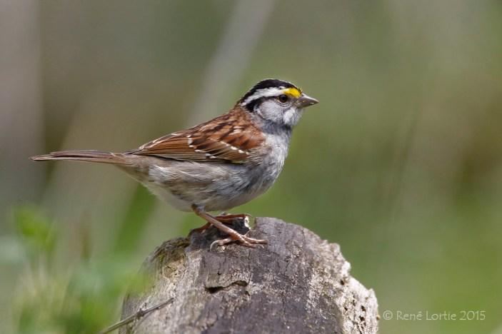 Bruant à gorge blanche / White-throated Sparrow / Zonotrichia albicollis