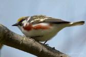 Paruline à flancs marron / Chestnut-sided Warbler / Setophaga pensylvanica