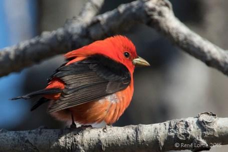 Piranga écarlate / Scarlet Tanager