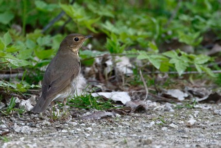 Grive à dos olive / Swainson's Thrush / Catharus undulatus