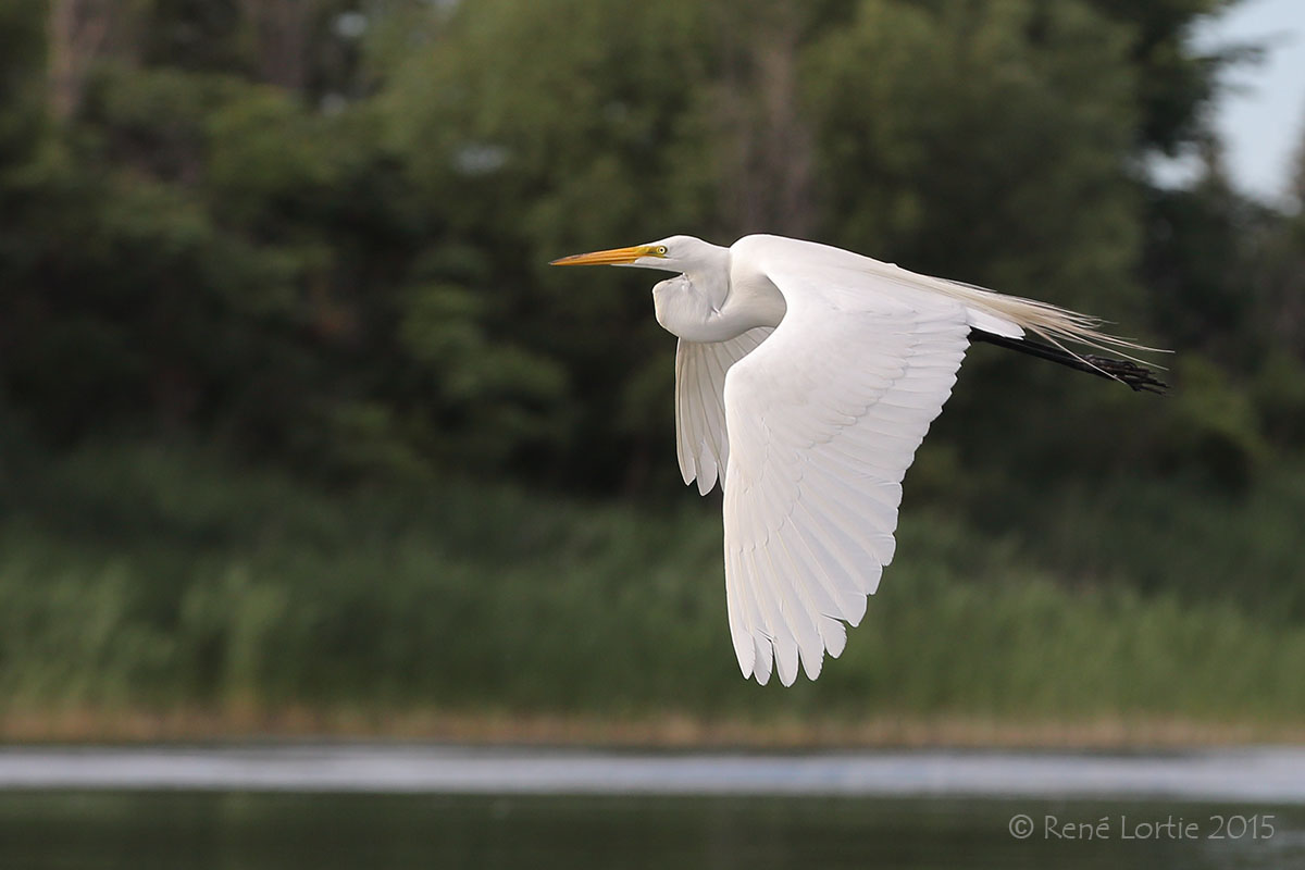 Grande aigrette / Great Egret