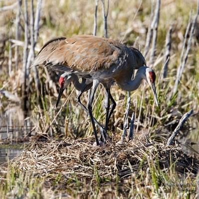 Sandhill Cranes nesting