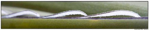 Feuille d'agave givrée