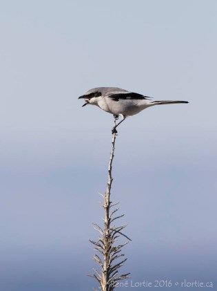 Pie -grièche migratrice / Loggerhead Shrike