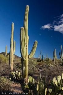 """La """"forêt"""" de saguaro du parc Saguaro"""