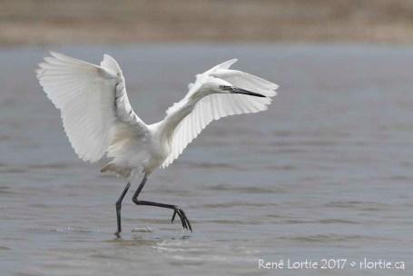Aigrette roussâtre (forme blanche) / Reddish Egret (White Morph Immature)