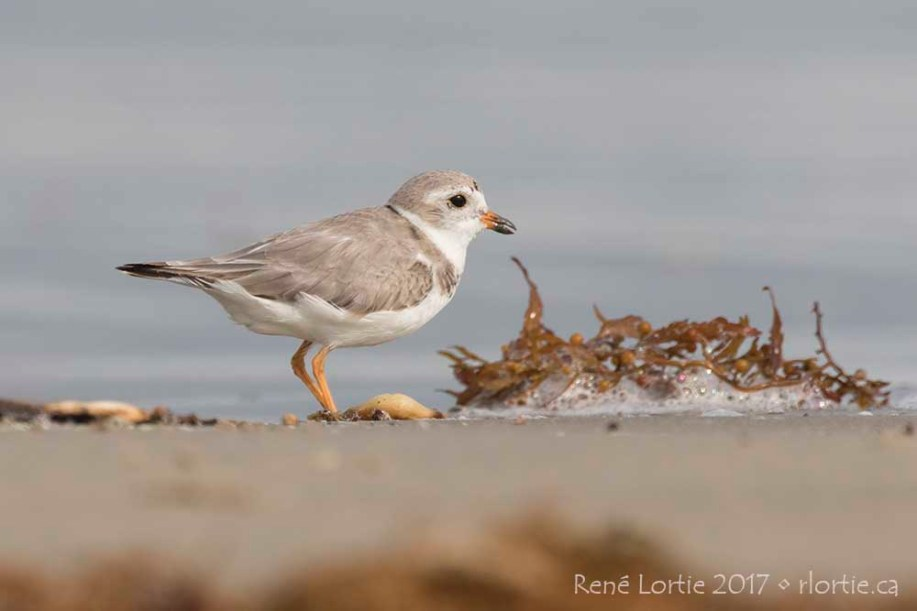 Pluvier siffleur / Piping Plover • Assez rare