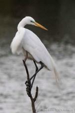 Grande aigrette / Great Egret • High Island