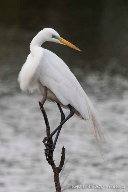 Grande aigrette / Great Egret • High Island