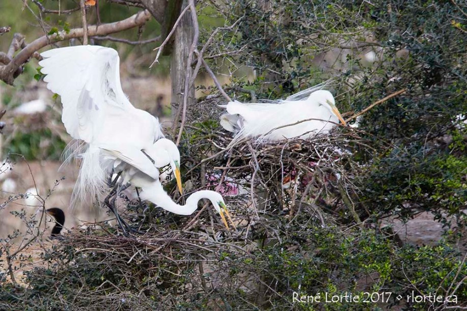 Grandes aigrettes / Great Egrets • High Island