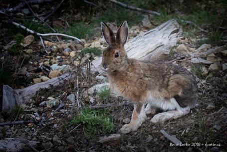 J'ai eu la visite d'un lièvre lors de ma première soirée au Parc Fundy.