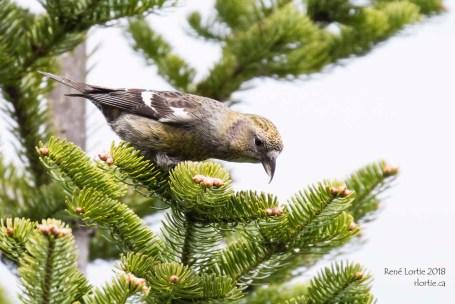 Bec-croisé bifascié femelle, Fundy