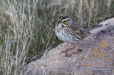 Bruant des prés / Savannah Sparrow