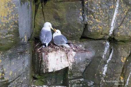 Couple de mouettes tridactyles / Black-legged Kittiwake
