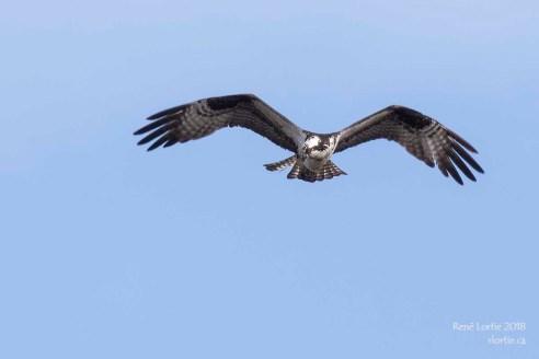 Balbuzard pêcheur / Osprey - Il repère sa proie ...