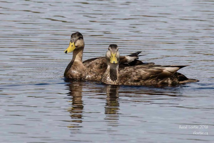 Canards noirs / Black Ducks