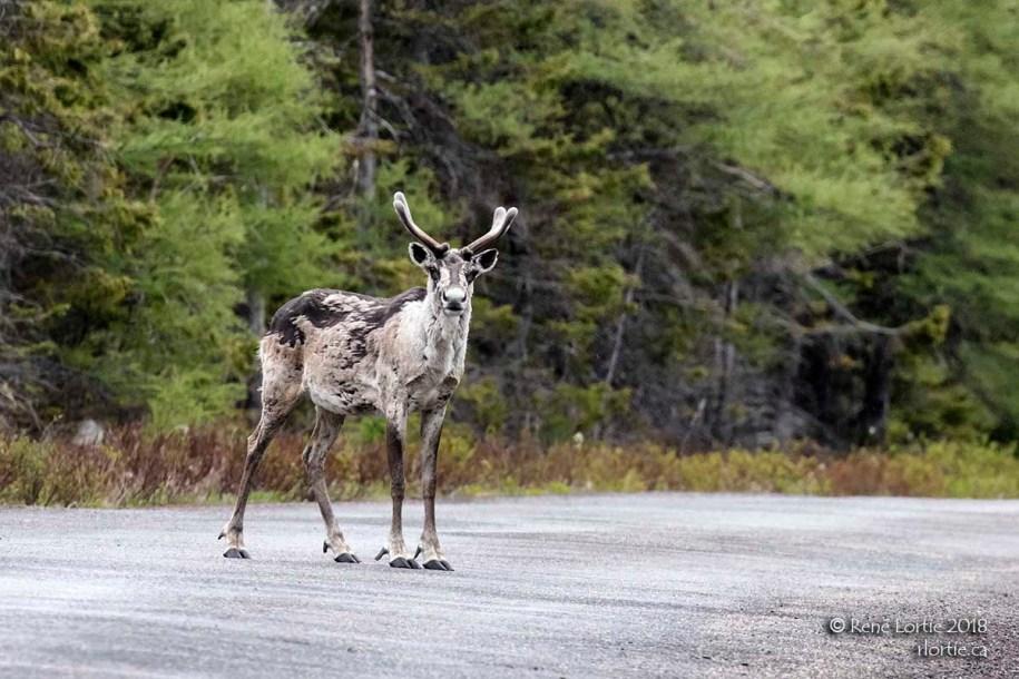Caribou rencontré lors d'une visite au parc Terra-Nova en sortant de St-John's