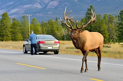A large bull elk Cervus elaphus, crossing highway 16 in Jasper National Parkk Alberta Canada