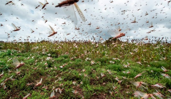 KSh 300 Million from Russia to help fight locust invasion