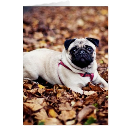 Adorable Pug Rests On The Autumn Foliage