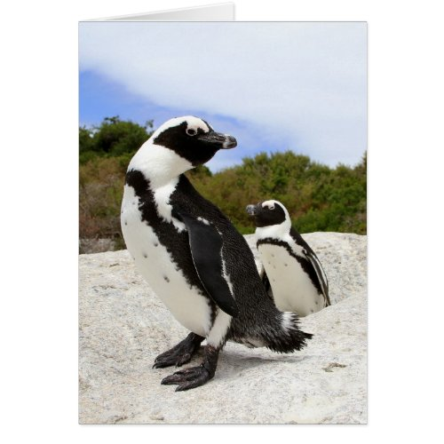 African Penguins Card