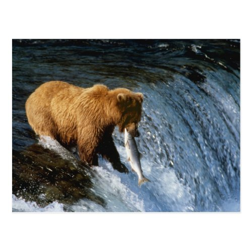 Alaskan Brown Bear Catching Salmon at Brooks Postcard