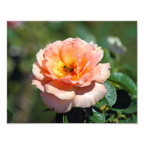 Apricot Hybrid Tea Rose With Honeybee Photo Print