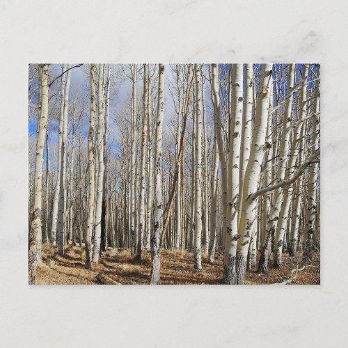 Aspens Trees in Winter Postcard postcard