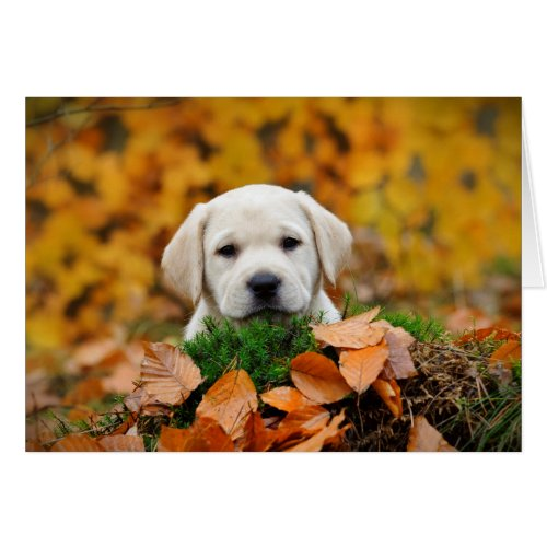Autumn Labrador