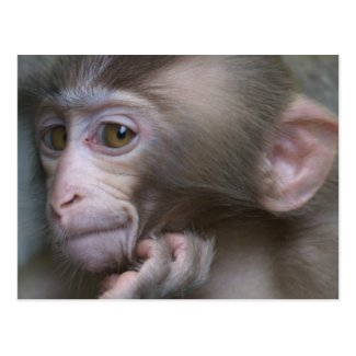Baby monkey staring. postcards