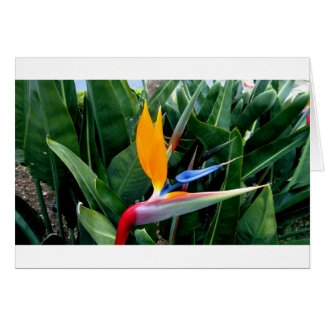 Bird Of Paradise Flower - California Card