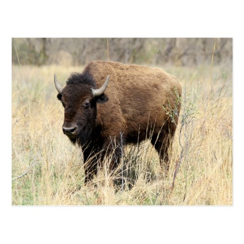 Bison Cow in Flint Hills, Kansas Postcard