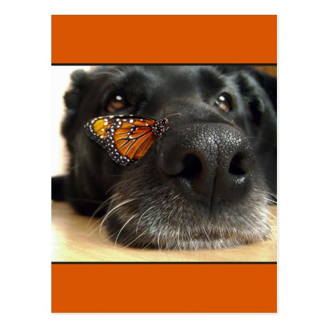 BLack Lab Dog With Butterfly Postcard
