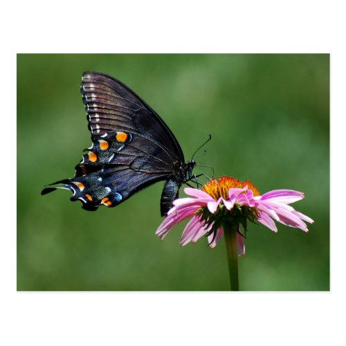 Black Swallowtail Butterfly on Coneflower Postcard