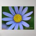 Blue Daisy print