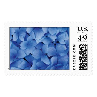 Blue Hydrangea Blossoms Postage