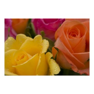Bright roses with raindrops Flower Print print