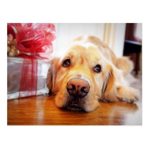 Close-up of wistful Golden Retriever dog Postcard