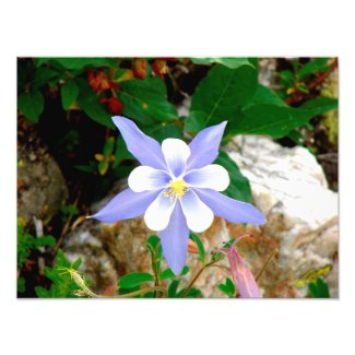 Colorado Columbine Photo Print