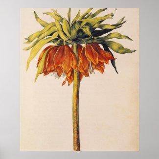 Crown Fritillary, from 'La Guirlande de Julie' print